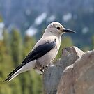 Clark's Nutcracker Profile by hummingbirds