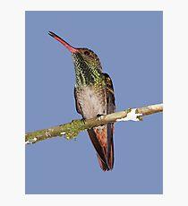 Rufous-tailed Hummingbird Male Photographic Print