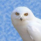 Male Snowy Owl by hummingbirds