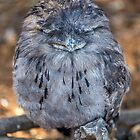 Tawny  Frogmouth by susanzentay