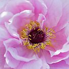 Pink Peony  by Tracy Riddell