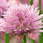 Chive Blossom  by lorilee
