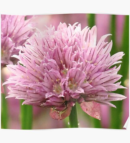 Chive Blossom  Poster
