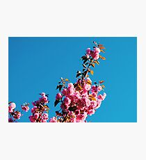 Pink flower blue skys Photographic Print