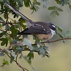 Fantail on the branch by lizdomett