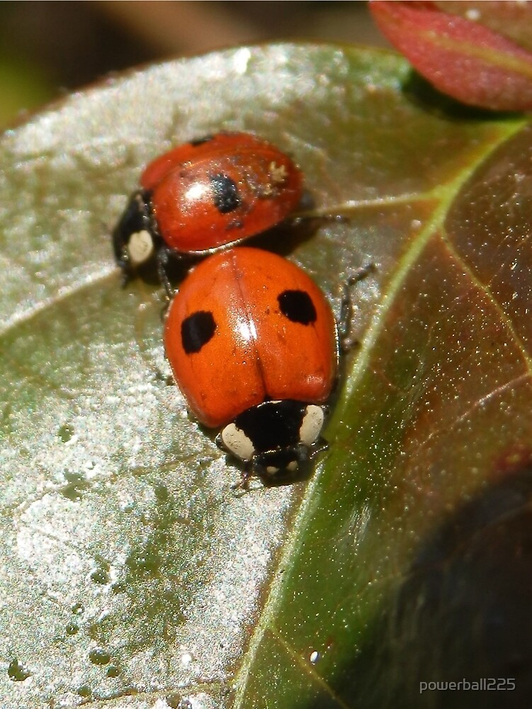 Ladybird love by powerball225