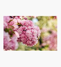 Sakura flower blossom in garden at springtime Photographic Print