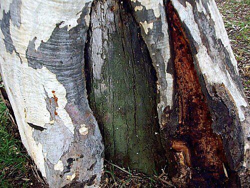 Tree Trunk by lurline