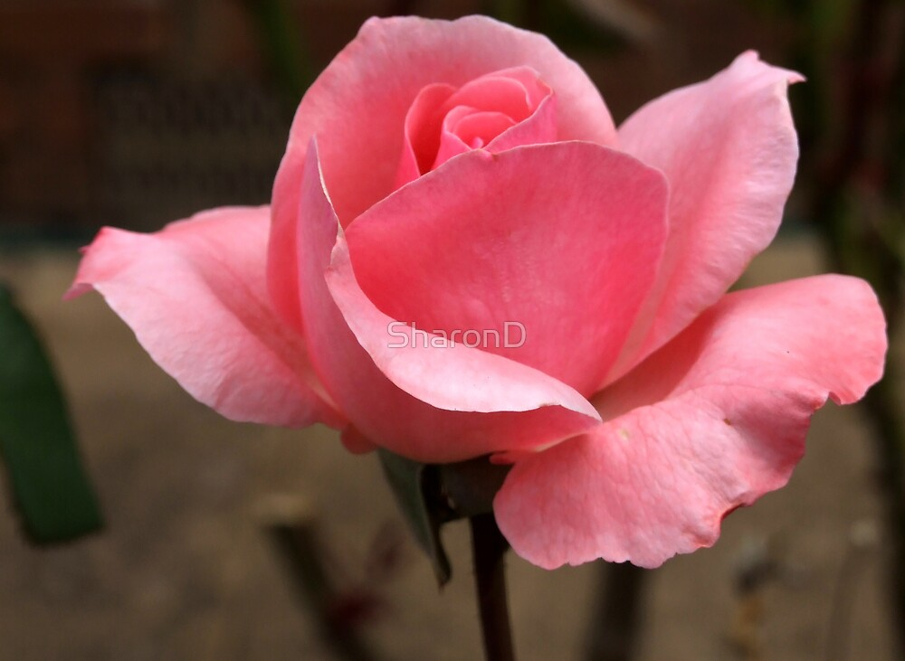 I Love Pink by SharonD