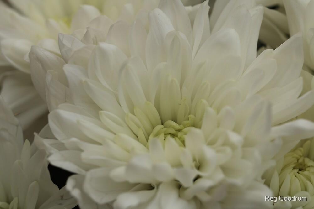 White daisy  by Reg Goodrum