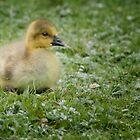 Young gosling by Sara Sadler