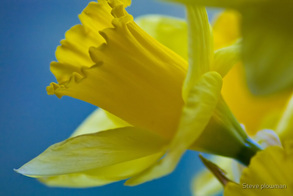 Daffodil  by Steve plowman
