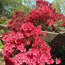 Azalea blooming around a fence by Bine