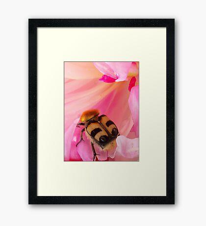 Bee Beetle Framed Print