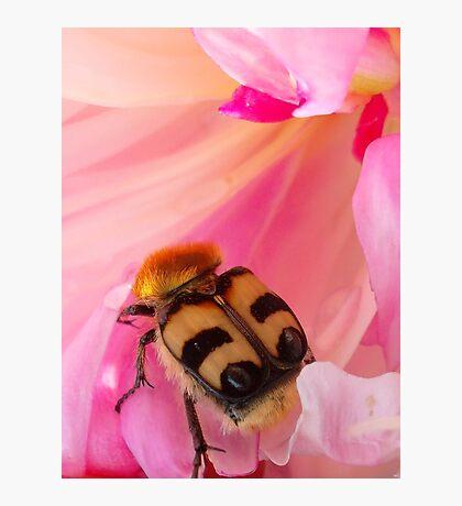 Bee Beetle Photographic Print