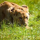 lion cub by nakomis