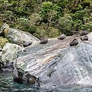 Fur Seals at Milford Sound, New Zealand by Elaine Teague