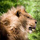 lion  by nakomis