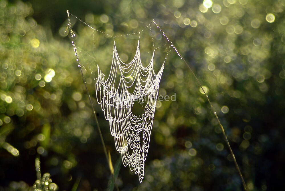 Morning Web by William Reed