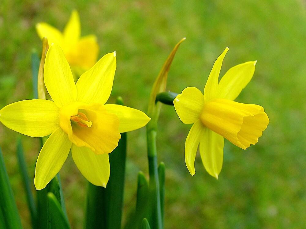 Daffodils by BizziLizzy