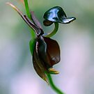 Flying Duck Orchid - Caleana major by Bev Pascoe