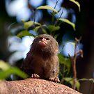 pygmy marmosette by nakomis