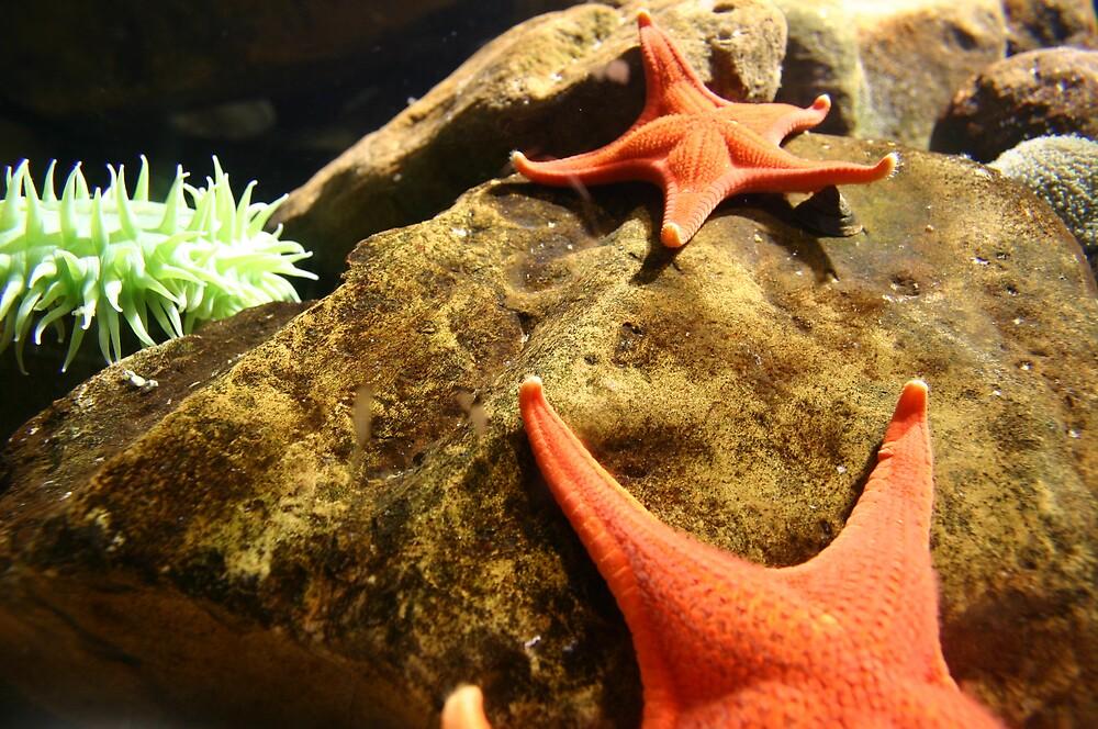 orange starfish by abryant