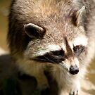 racoon by nakomis