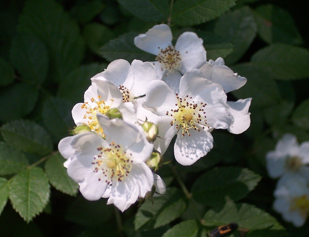 Multiflora Rose (Rosa multiflora) by William Tanneberger