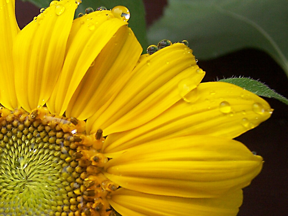 Sunflower After the Storm by Jamie  Fox