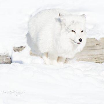 Running Arctic Fox by Photograph2u