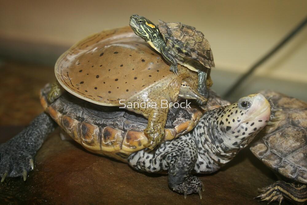 Turtle Trio by Sandra Brock