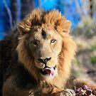 Bhanu the Asiatic Lion by Sheila Smith