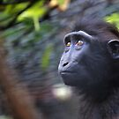 Sulawasi Crested Macaque  by Sheila Smith