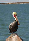 Pelican by Cathy Jones