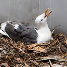 Rooftop Nesting Seagull by Heather Friedman
