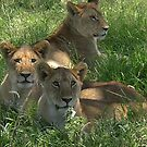 Lion cubs by caymanlogic