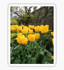 Happiness Is Yellow Tulips Sticker