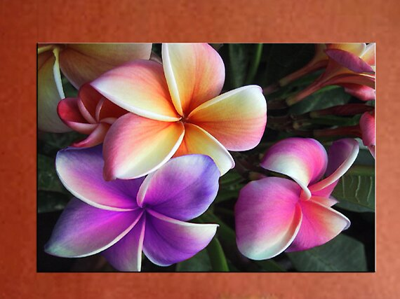70cm x 50cm Frangipani  Canvas ready to Hang by thegallery
