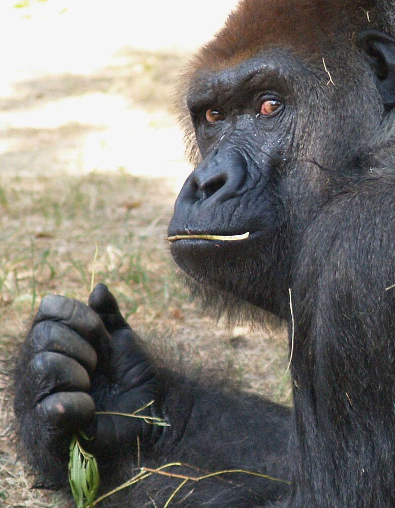 Gorilla by cammarshalek