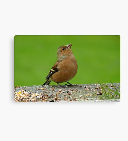Hey, There Is Plenty Down Here! - Chaffinch - NZ Canvas Print