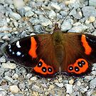 The Red Cloak! - Red admiral Butterfly - NZ by AndreaEL