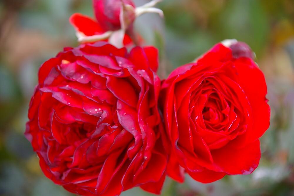 God's Red by Deidre Cripwell