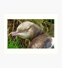 Do I Look Grumpy? - Rare Yellow Eyed Penguin - NZ Art Print