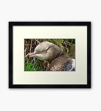 Do I Look Grumpy? - Rare Yellow Eyed Penguin - NZ Framed Print