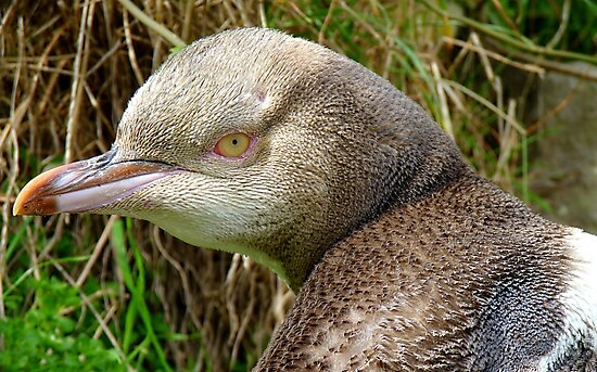 Do I Look Grumpy? - Rare Yellow Eyed Penguin - NZ by AndreaEL