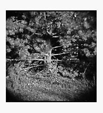 Pine Tree Photographic Print