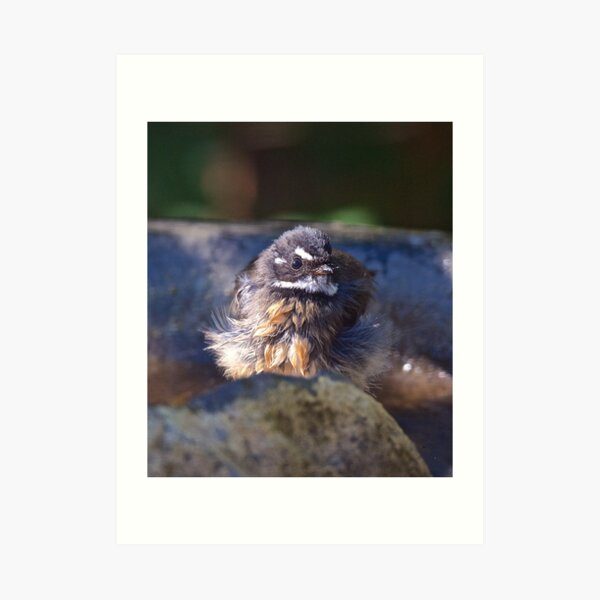 FANTAIL ~ Grey Fantail sDQSPzVU by David Irwin ~ WO Art Print