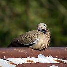 Dove, warm tin on a cool day. by UncaDeej