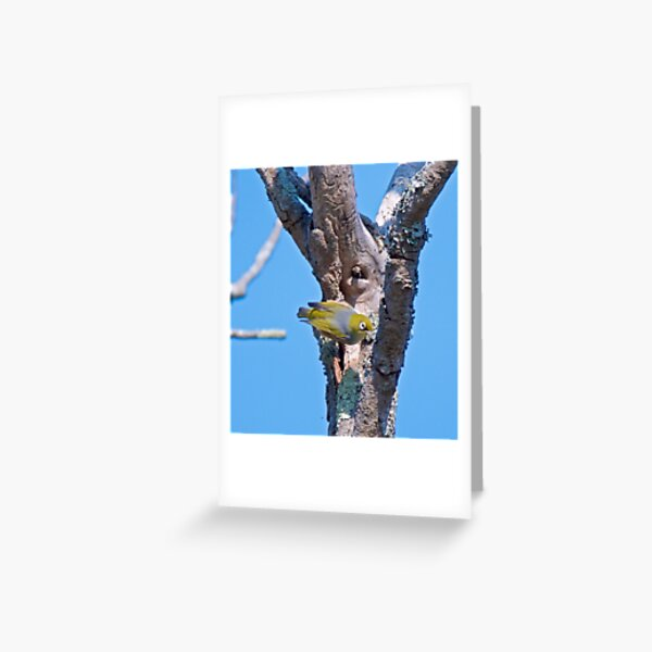 SILVEREYE ~ Grey-backed Silvereye by David Irwin Greeting Card